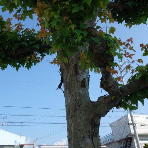 Zikaden im Baum