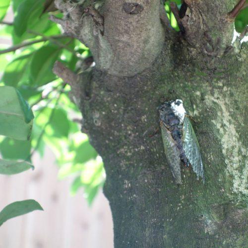 Eine Zikade am Baum