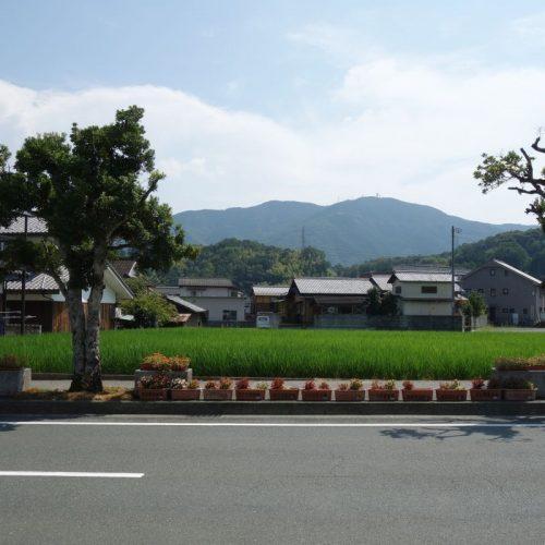 Reisfeld an der Strasse in Uchiko
