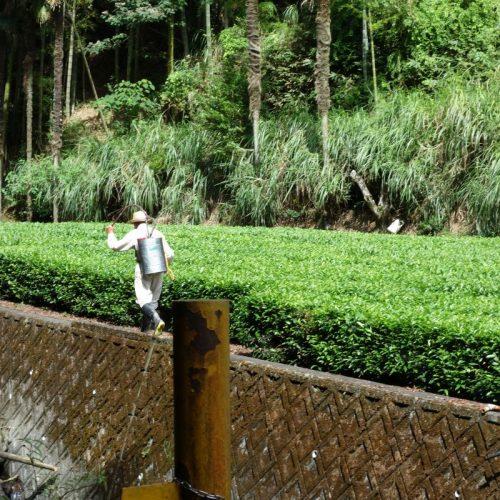 Ein Anwohner bei der Bewirtschaftung seiner Teepflanzen