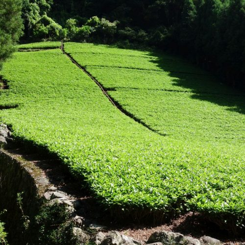 Tee-Feld am Rande Sokusawas