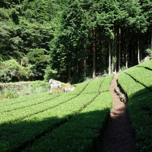 Eingang zum Sokusawa Trailhead über eine Tee-Plantage