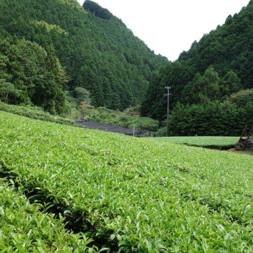 Tee-Plantagen auf dem Weg zurück nach Sukosawa